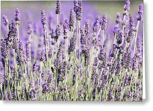 Shower Curtain Greeting Cards - Lavender fields  Greeting Card by Anahi DeCanio - ArtyZen Studios