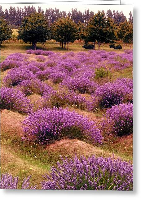 Mound Greeting Cards - Lavender Fields 2 Greeting Card by Michelle Calkins
