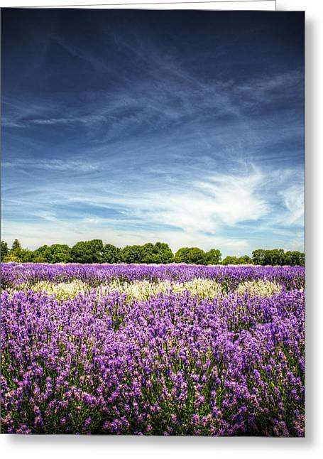 North Fork Greeting Cards - Lavender Fields Against Deep Blue Sky Greeting Card by Vicki Jauron