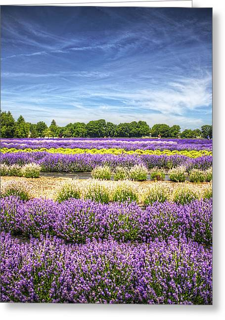 North Fork Greeting Cards - Lavender Fields at East Marion Greeting Card by Vicki Jauron