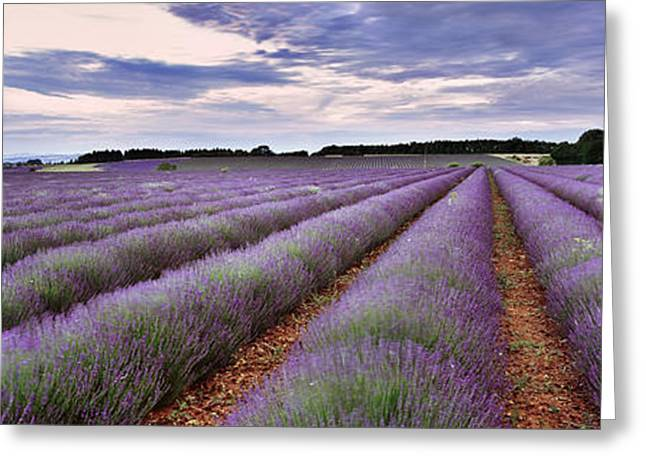 Evening Lights Greeting Cards - Lavender Fields Greeting Card by Rod McLean