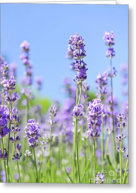 Sense Greeting Cards - Lavender flowering Greeting Card by Elena Elisseeva
