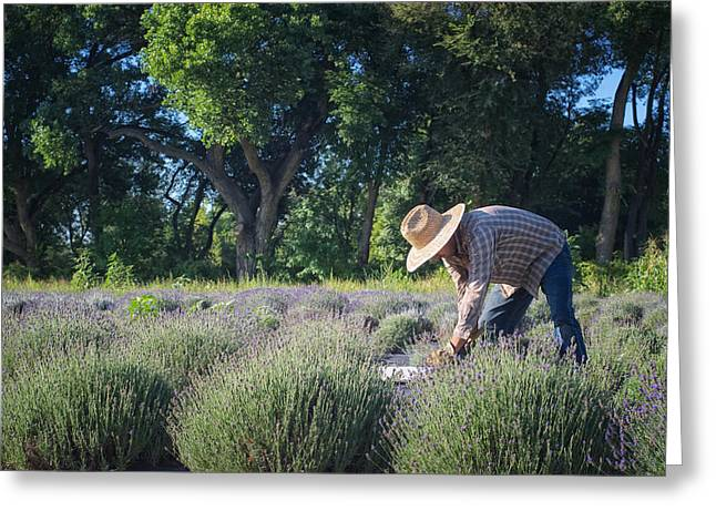 Dereske Greeting Cards - Lavender Harvest Greeting Card by Mary Lee Dereske