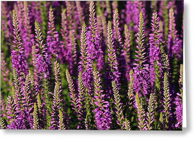 Lavender Hues Greeting Card by Rachel Cohen