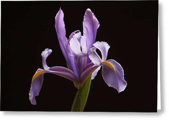 Most Greeting Cards - Lavender Iris Greeting Card by Juergen Roth
