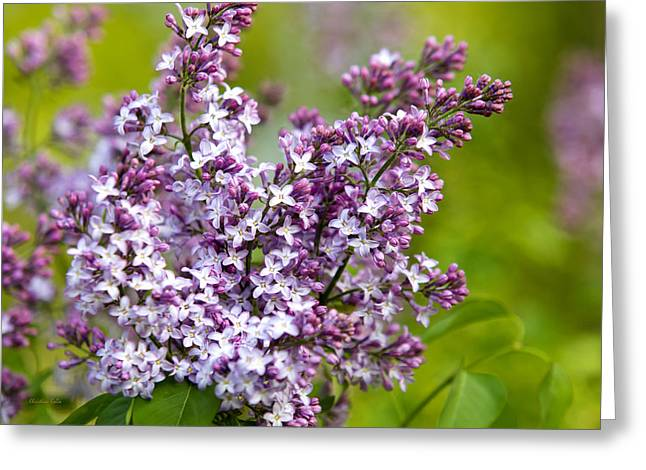 Lilac Greeting Cards - Lavender Lilacs Greeting Card by Christina Rollo