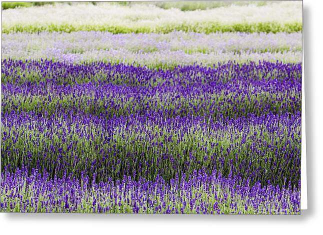 Lavandula Greeting Cards - Lavender Lines  Greeting Card by Tim Gainey
