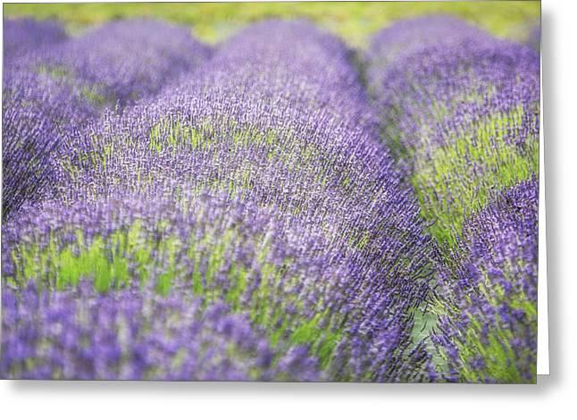 Mound Greeting Cards - Lavender Mounds Greeting Card by Vicki Jauron