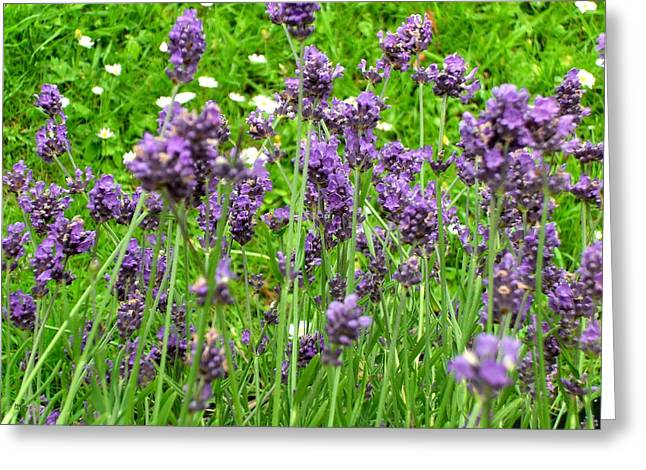 Tablets Paintings Greeting Cards - Lavender Greeting Card by Patrick J Murphy