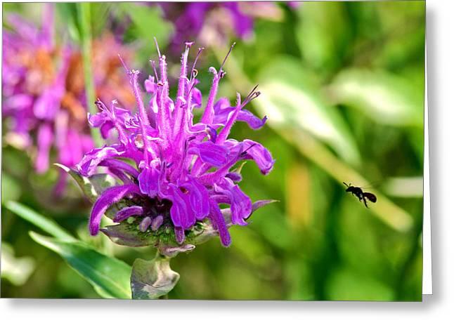 Balm Greeting Cards - Lavender Pink Bee Balm Wild Bergamot Greeting Card by Karon Melillo DeVega