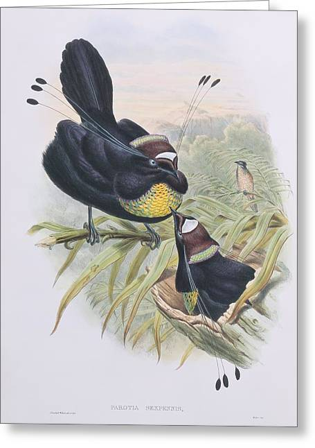 Coloured Plumage Greeting Cards - Lawes parotia, 19th century artwork Greeting Card by Science Photo Library