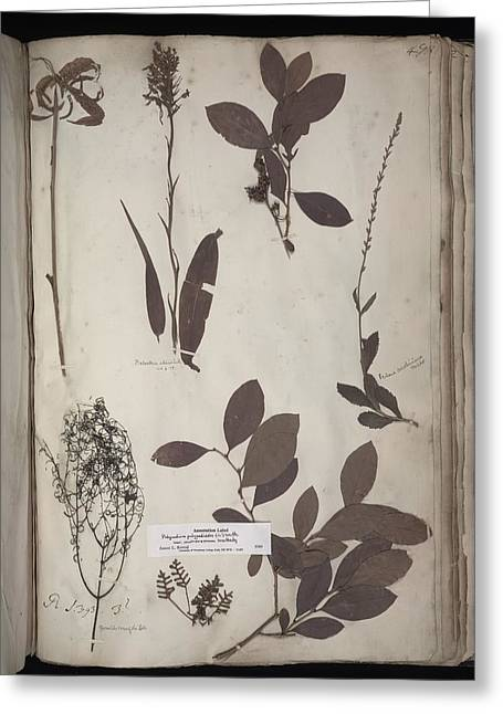 1700s Greeting Cards - Lawson plant specimens Greeting Card by Science Photo Library