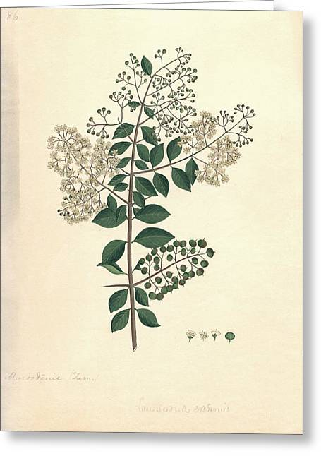 Henna Greeting Cards - Lawsonia inermis, historical artwork Greeting Card by Science Photo Library