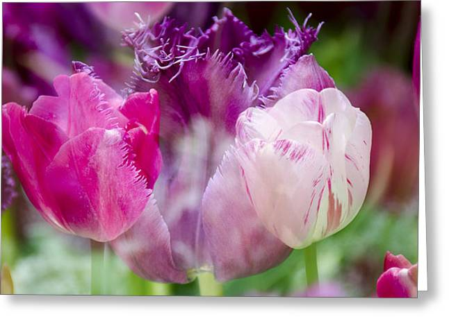 Layers Of Tulips II Greeting Card by Penny Lisowski