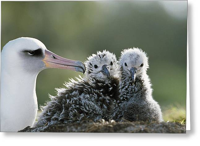 Diomedeidae Greeting Cards - Laysan Albatross Chick Greeting Card by Tui De Roy
