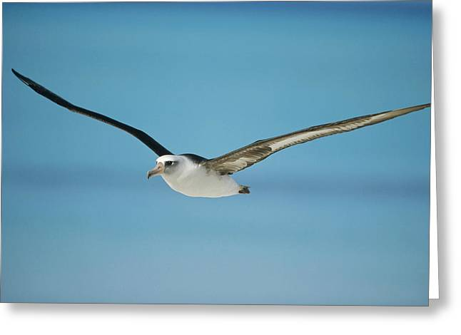 Diomedeidae Greeting Cards - Laysan Albatross Midway Atoll Hawaii Greeting Card by Tui De Roy