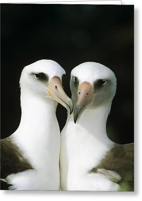 Bonding Greeting Cards - Laysan Albatross Pair Bonding Hawaii Greeting Card by Tui De Roy