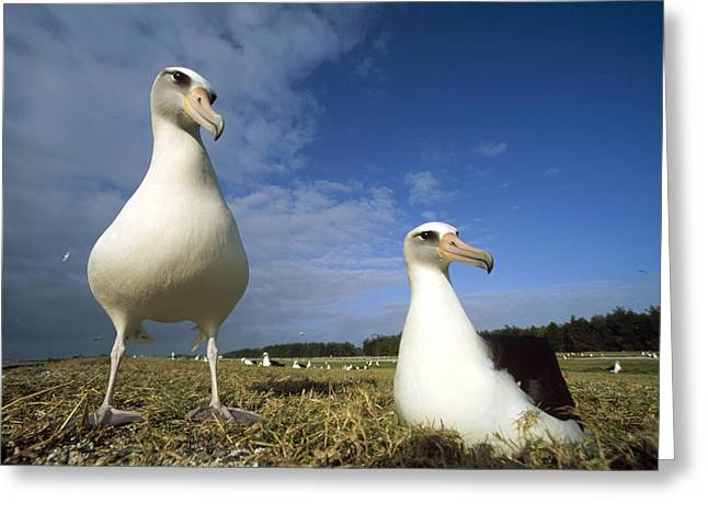 Diomedeidae Greeting Cards - Laysan Albatross Pair Midway Atoll Greeting Card by Tui De Roy