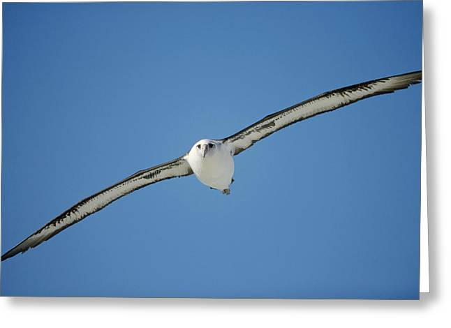 Seabirds Greeting Cards - Laysan Albatross Soaring Hawaii Greeting Card by Tui De Roy