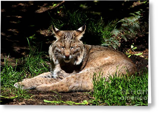 Bobcats Greeting Cards - Lazy Bobcat in the Sun Greeting Card by Nick Gustafson