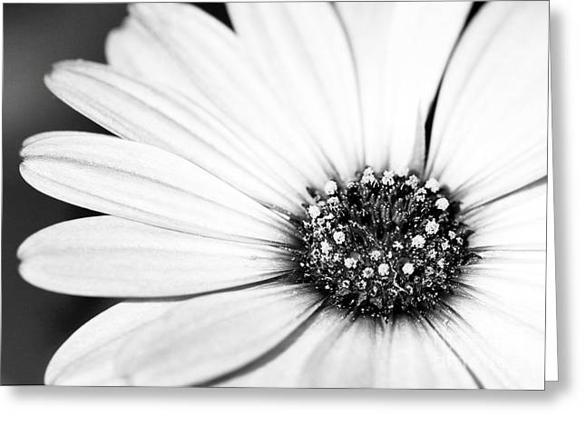 Florida Flowers Greeting Cards - Lazy Daisy in Black and White Greeting Card by Sabrina L Ryan