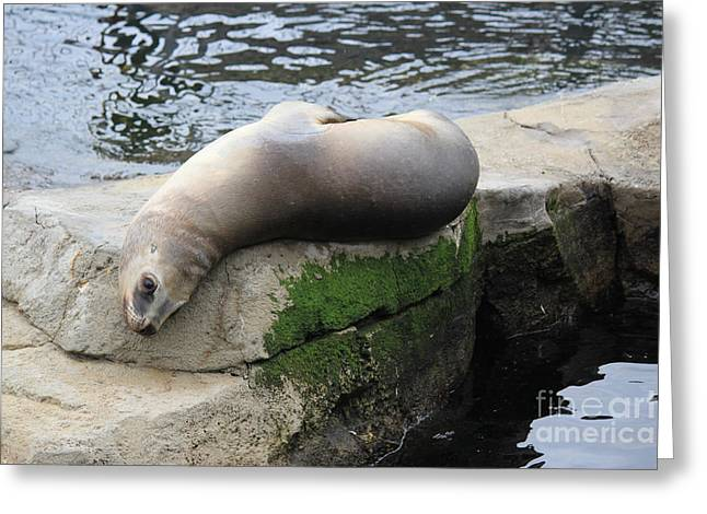 Sea Lions Greeting Cards - Lazy day Greeting Card by Four Hands Art