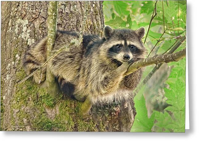Raccoon Greeting Cards - Lazy Day Raccoon Greeting Card by Jennie Marie Schell