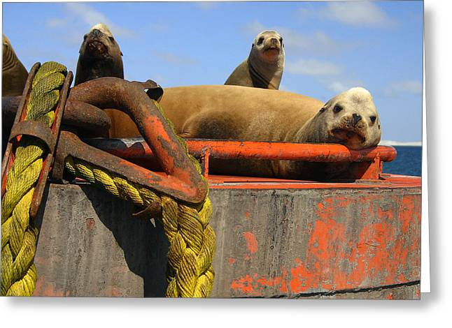 Guerrero Negro Greeting Cards - Lazy Sealions Greeting Card by Doug Gould