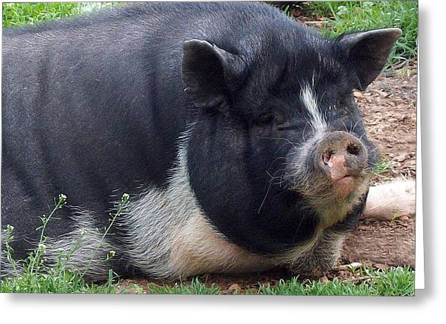 Potbelly Pig Greeting Cards - Leadbelly lazy piggy Greeting Card by Janice Woodring