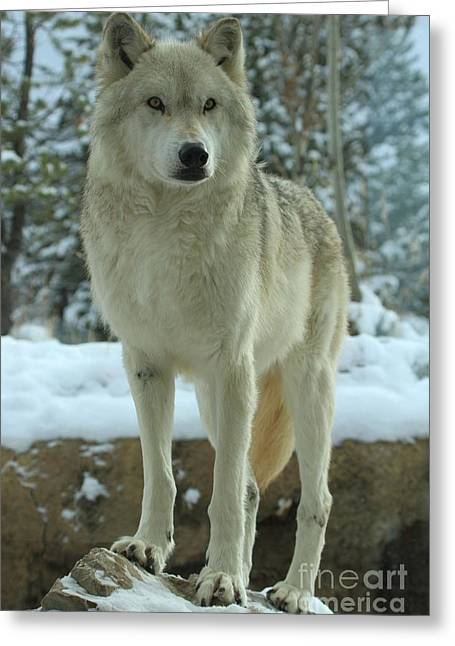 West Yellowstone Greeting Cards - Leader Of The Pack Greeting Card by Adam Jewell