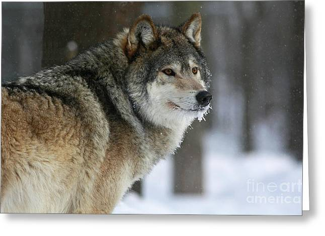 Leader Of The Pack Greeting Card by Inspired Nature Photography Fine Art Photography