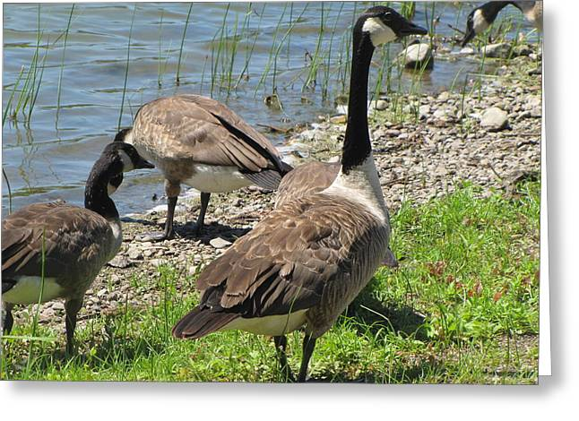 Geese Pyrography Greeting Cards - Leader of the pack Greeting Card by Roxanne Butler