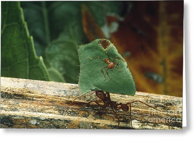 Cooperation Greeting Cards - Leaf-cutter Ants Greeting Card by Gregory G. Dimijian