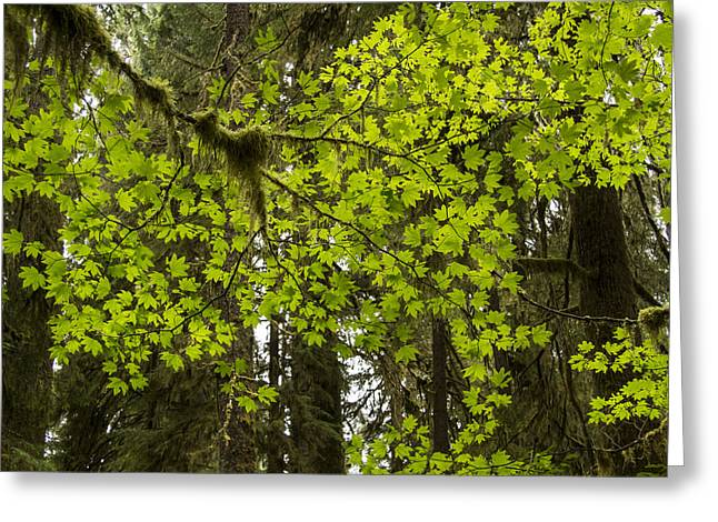 Old Growth Greeting Cards - Leaf Lace Greeting Card by Jean Noren
