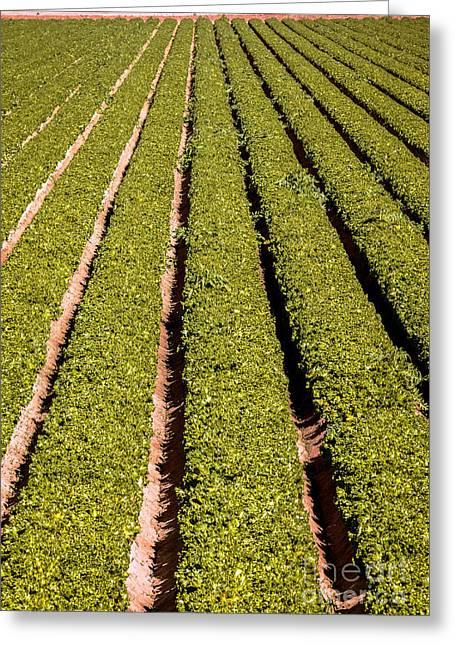 Leaf Lettuce Greeting Card by Robert Bales