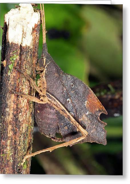 Leaf Mimic Katydid Greeting Card by Dr Morley Read