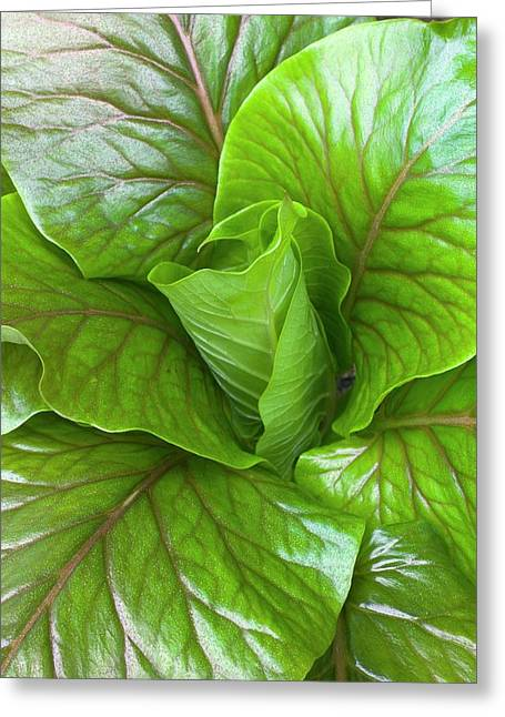 Leaf Rosette Of The Giant Himalayan Lily Greeting Card by Dr Jeremy Burgess