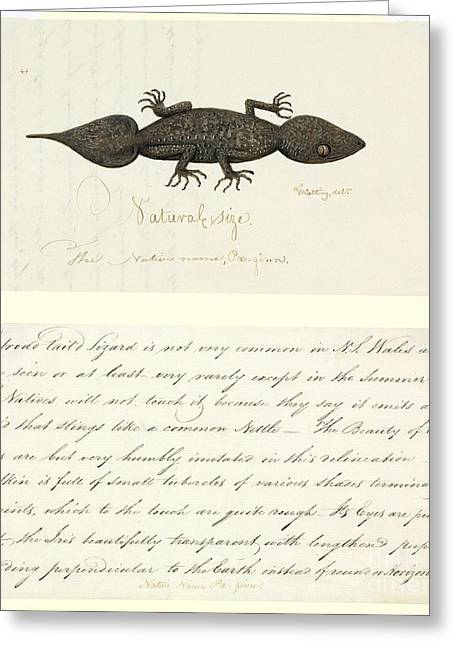 Gecko Illustration Greeting Cards - Leaf-tailed Gecko, 18th Century Greeting Card by Natural History Museum, London