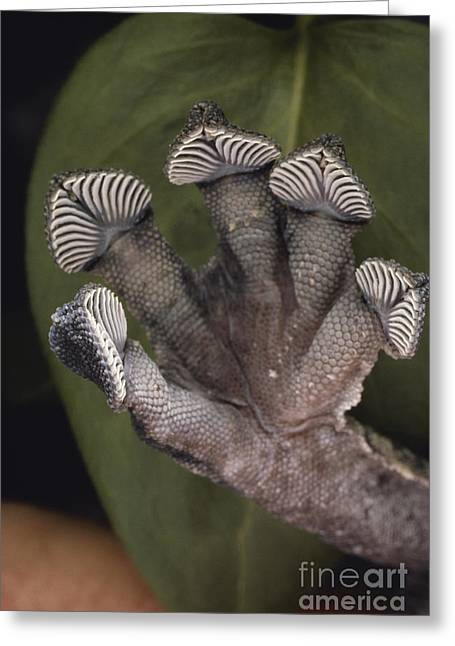 Toe Pad Greeting Cards - Leaf-tailed Gecko Foot Greeting Card by Gregory G. Dimijian, M.D.