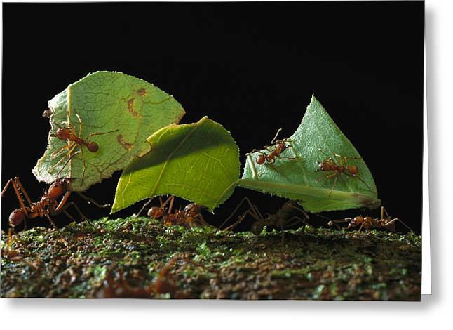 Cooperation Greeting Cards - Leafcutter Ant Ants Taking Leaves Greeting Card by Mark Moffett