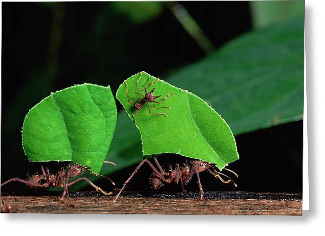 Atta Greeting Cards - Leafcutter Ant Atta Sp Group Workers Greeting Card by Michael and Patricia Fogden