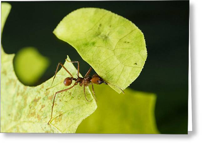 Atta Greeting Cards - Leafcutter Ant Carrying Freshly Cut Greeting Card by Konrad Wothe