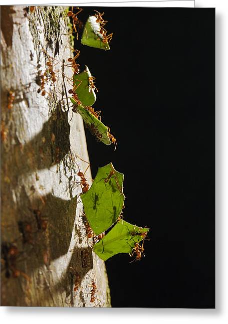 Atta Greeting Cards - Leafcutter Ant Carrying Leaves Costa Greeting Card by Konrad Wothe
