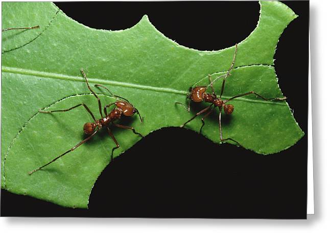 Cooperation Greeting Cards - Leafcutter Ant Pair Cutting Leaf Greeting Card by Konrad Wothe