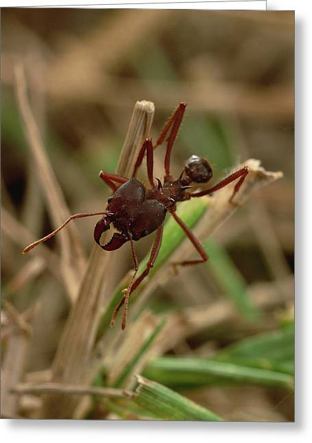 Atta Greeting Cards - Leafcutter Ant Paraguay Greeting Card by Mark Moffett