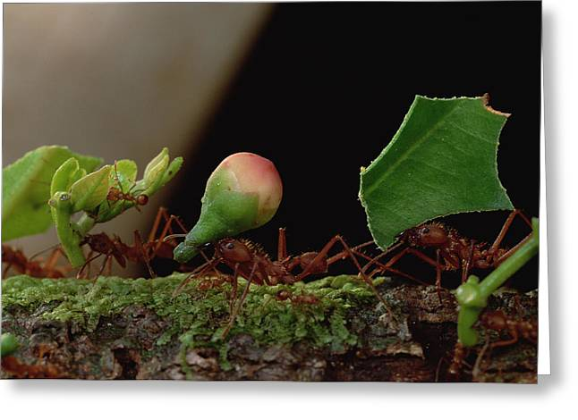 Cooperation Greeting Cards - Leafcutter Ants Carrying Leaves French Greeting Card by Mark Moffett