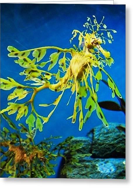 Leafy Sea Dragon Greeting Cards - Leafy Sea Dragon Greeting Card by Julie Hughes