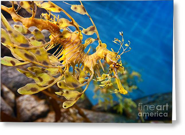 Leafy Sea Dragon Photographs Greeting Cards - Leafy Sea Dragon Phycodurus eques. Greeting Card by Jamie Pham