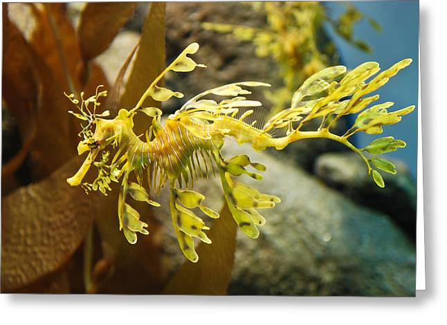 Sea Horse Greeting Cards - Leafy Sea Dragon Greeting Card by Shane Kelly