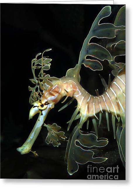Leafy Sea Dragon Photographs Greeting Cards - Leafy Seadragon Greeting Card by Gregory G. Dimijian